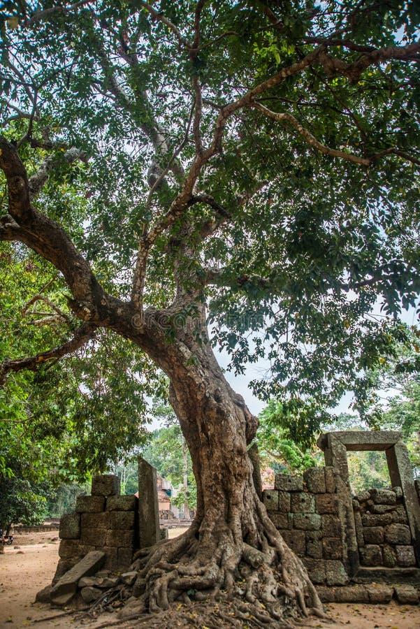 O complexo do templo de Angkor Árvores com raizes cambodia imagem de stock royalty free