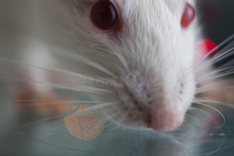 O conceito da curiosidade Close-up do rato do focinho Um rato branco grande fotos de stock