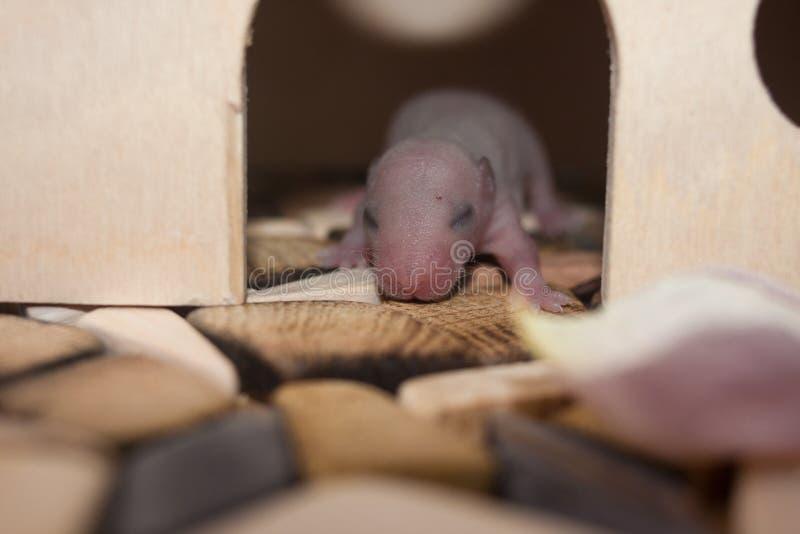 O conceito da enfermidade O filhote recém-nascido do rato não tinha aberto ainda seus olhos foto de stock royalty free