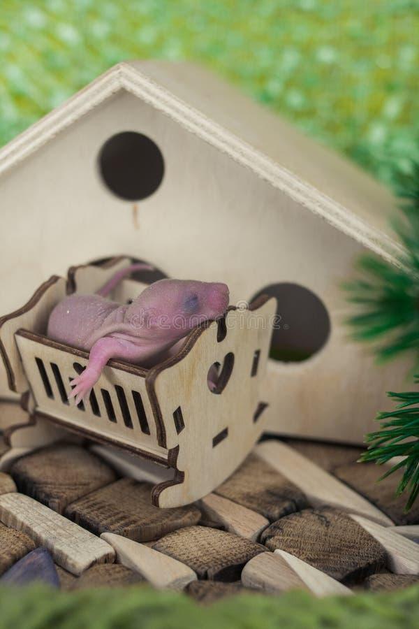 O conceito da pregui?a Um filhote do rato dorme em um berço fotografia de stock