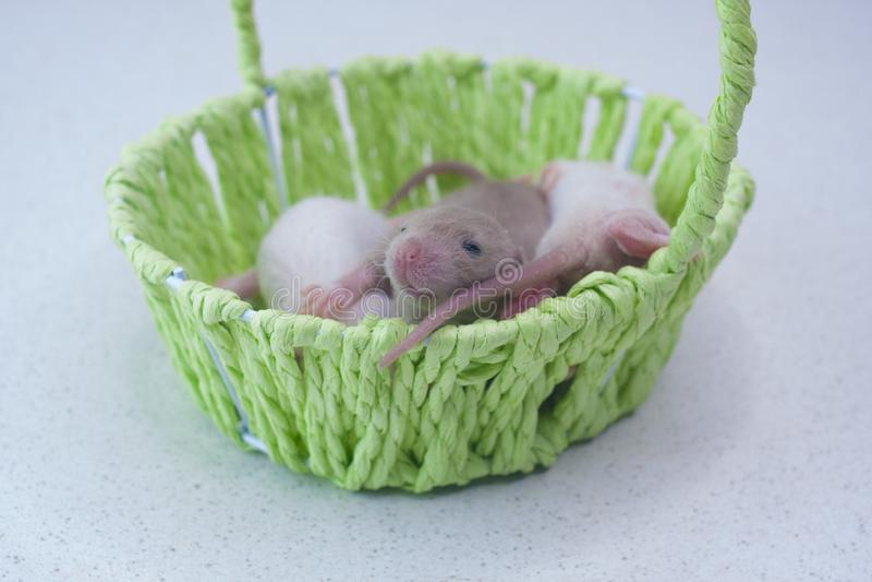 O conceito de descendência Ratos recém nascidos moram em uma cesta verde foto de stock