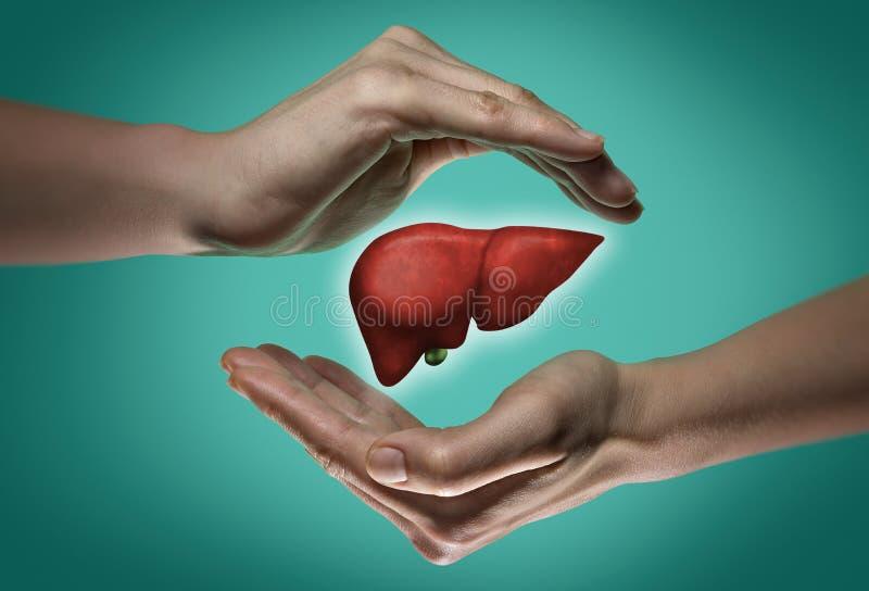 O conceito de um fígado saudável fotografia de stock royalty free