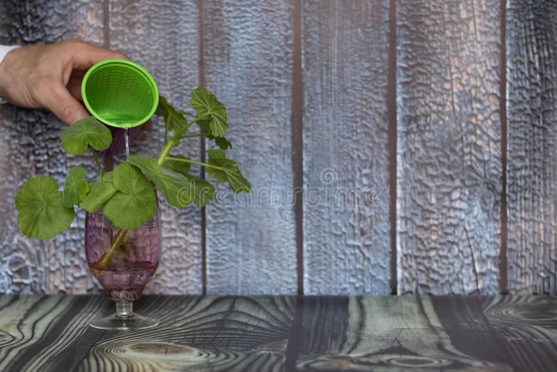 O conceito do inquietação com o ambiente e a preservação do ambiente Mão que molha uma planta verde após a transplantação fotografia de stock royalty free