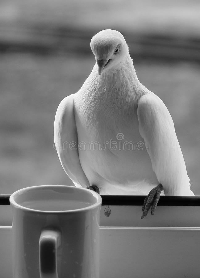 O copo branco do resto da água da bebida da pomba do pombo do pombo preto e branco da água mergulhou janela foto de stock