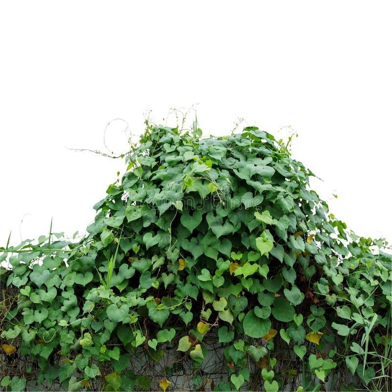 O coração deu forma às folhas verdes que escalam a manhã obscura g das videiras selvagens fotografia de stock royalty free