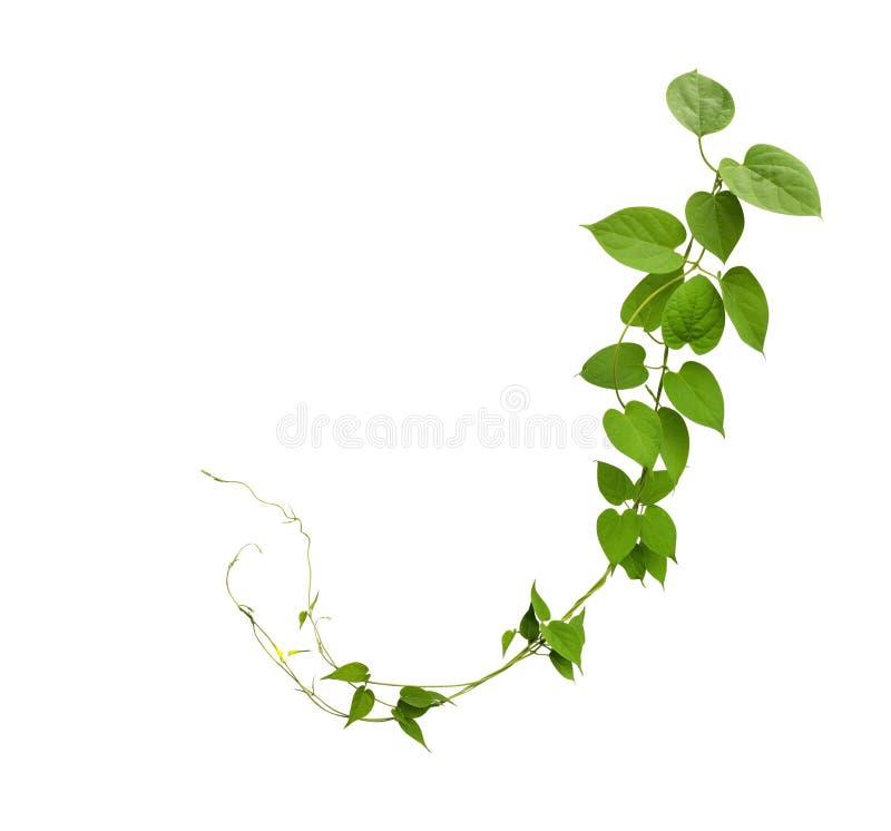 O coração deu forma às videiras verdes da folha isoladas no fundo branco, grampo foto de stock