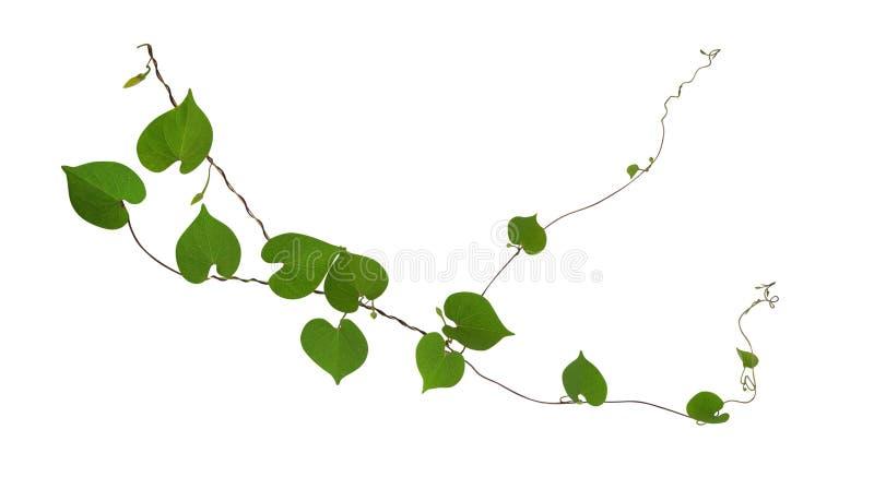 O coração deu forma às videiras verdes da folha isoladas no fundo branco, grampo fotografia de stock royalty free