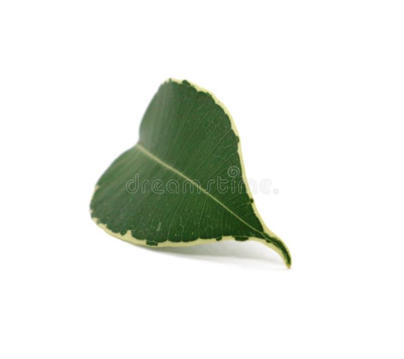 O coração do verde da folha deu forma isolado no fundo branco fotografia de stock