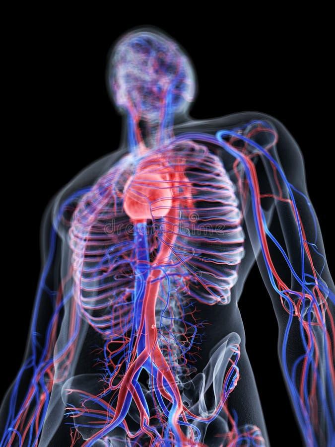 O coração e o sistema vascular ilustração do vetor