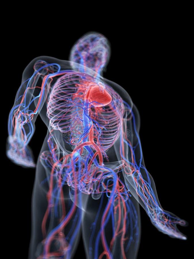 O coração e o sistema vascular ilustração stock