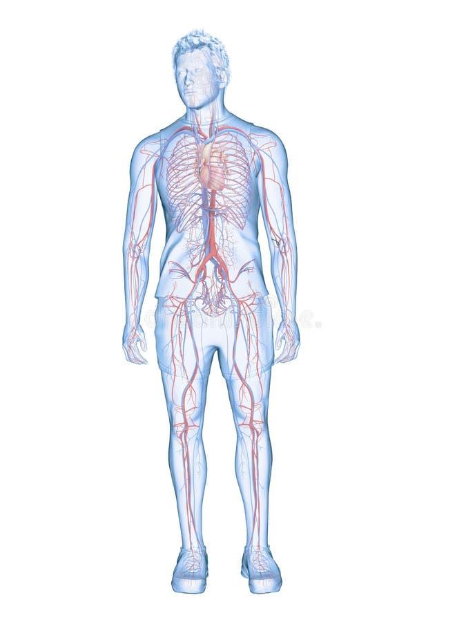 O coração humano e o sistema vascular ilustração royalty free