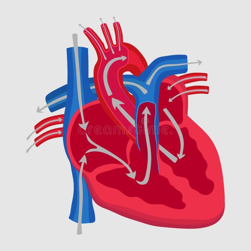 O coração humano, o estudo da anatomia, o trajeto da circulação sanguínea dentro ilustração do vetor