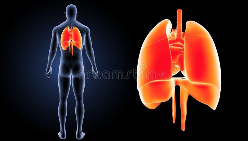 O coração, os pulmões e o diafragma zumbem com opinião do traseiro do corpo ilustração stock