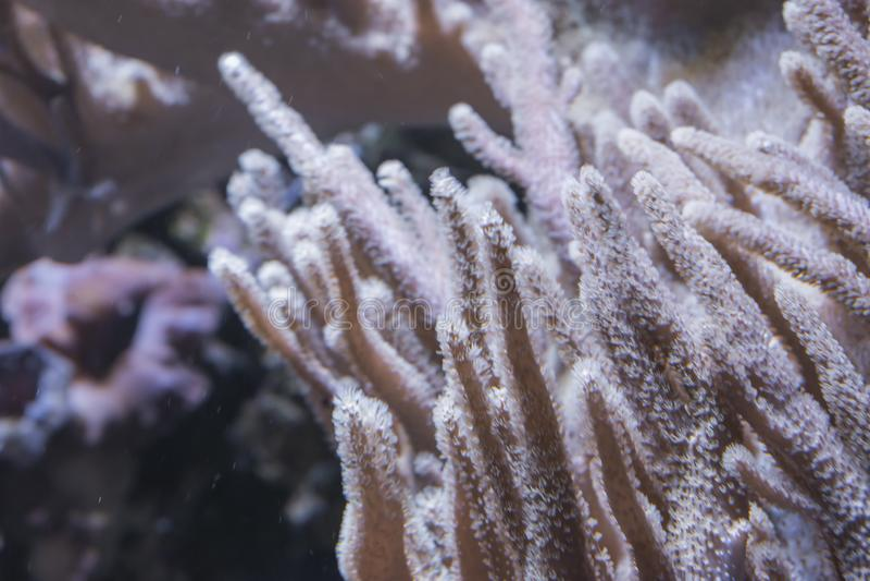 O coral do potro fotografia de stock