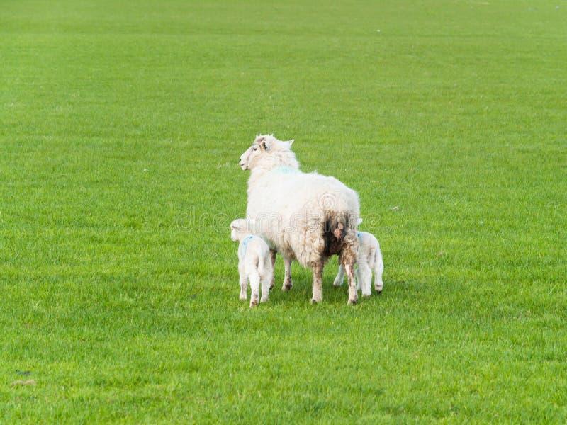 O cordeiro dois pequeno com carneiros da mãe sae do pasto fotografia de stock