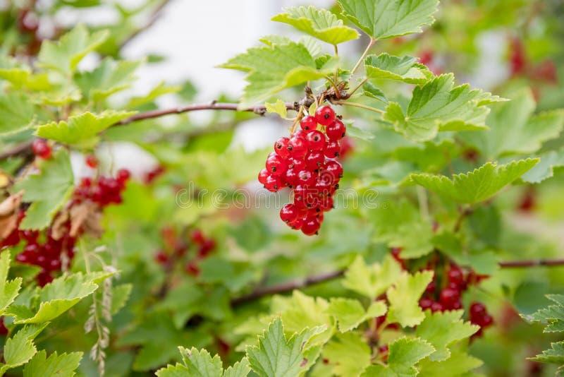 o corinto vermelho cresce em um arbusto no jardim, baga, colheita, ver?o, planta as bagas colhem no arbusto de corinto vermelho d foto de stock royalty free