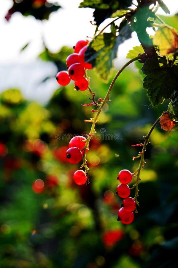 O corinto vermelho cresce em um arbusto no jardim Corinto vermelho que pendura em um arbusto imagens de stock