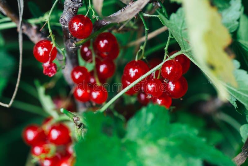 O corinto vermelho cresce nas folhas de um fundo do arbusto imagens de stock
