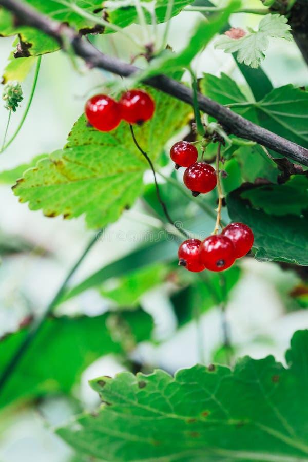 O corinto vermelho cresce nas folhas de um fundo do arbusto foto de stock royalty free