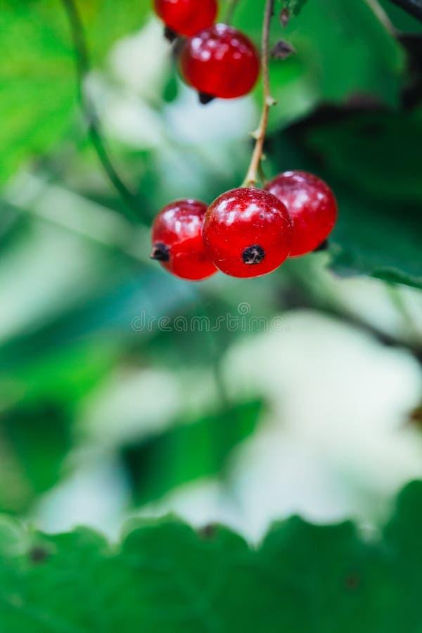 O corinto vermelho cresce nas folhas de um fundo do arbusto imagem de stock