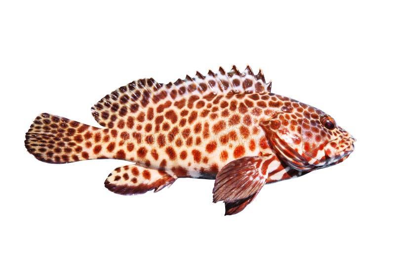 O corpo completo da vista lateral de peixes da garoupa isolou o fundo branco imagens de stock royalty free
