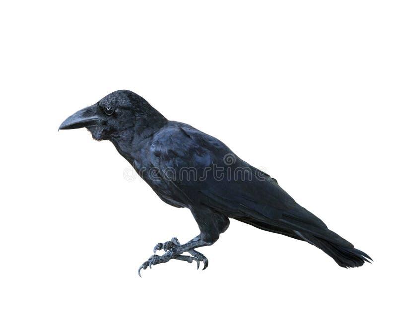 O corpo completo da vista lateral do pássaro preto do corvo da pena isolou b branco imagens de stock