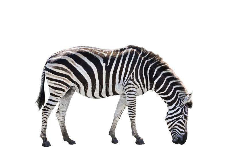 O corpo completo da vista lateral da zebra africana isolou o fundo branco imagens de stock royalty free