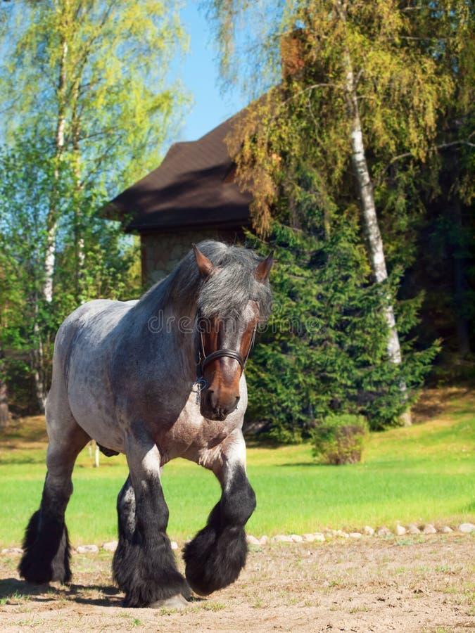 O corpo completo disparou de um cavalo de esboço belga imagens de stock