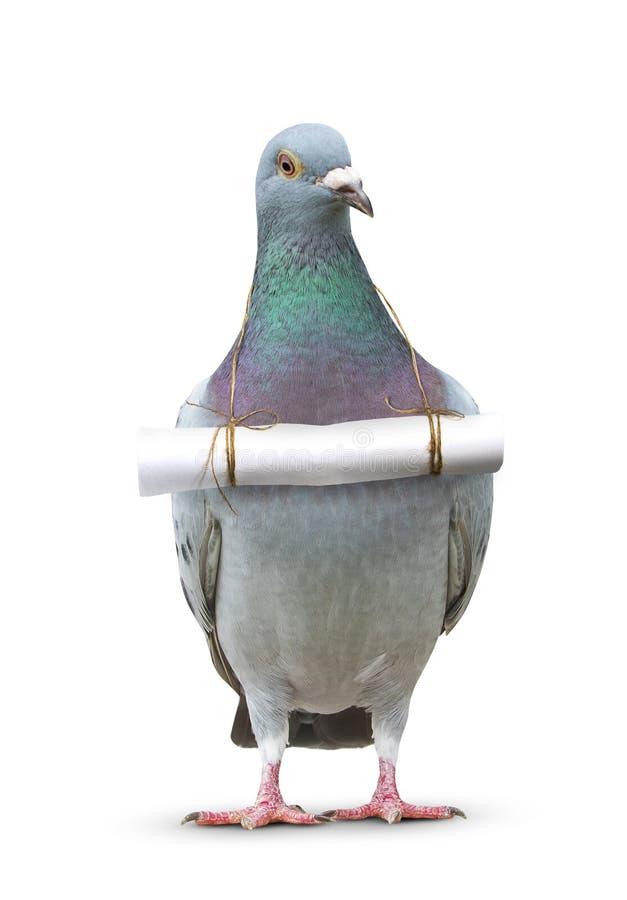 O corpo completo do pássaro do pombo e o papel rotulam a mensagem que pendura no bre foto de stock