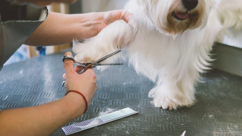 O corte de cabelo scissors os cães brancos Cão que prepara no salão de beleza da preparação Foco raso fotografia de stock