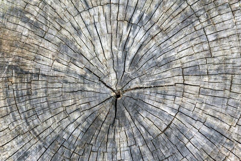 O corte do seção transversal do coto de árvore com anéis anuais e o fragmento texture o fundo fotografia de stock