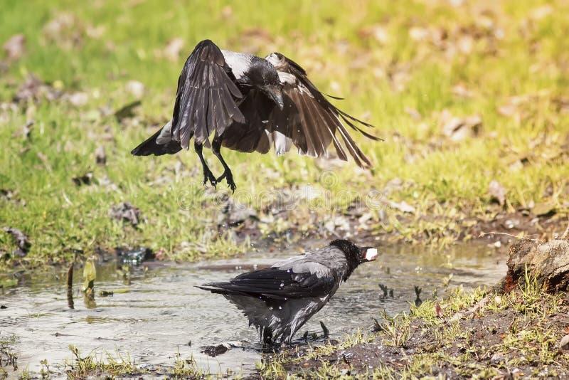 o corvo banha-se em uma poça da água em um prado brilhante da mola imagem de stock