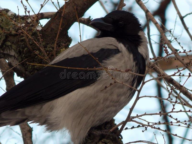 O corvo cinzento senta-se em um ramo de árvore imagens de stock