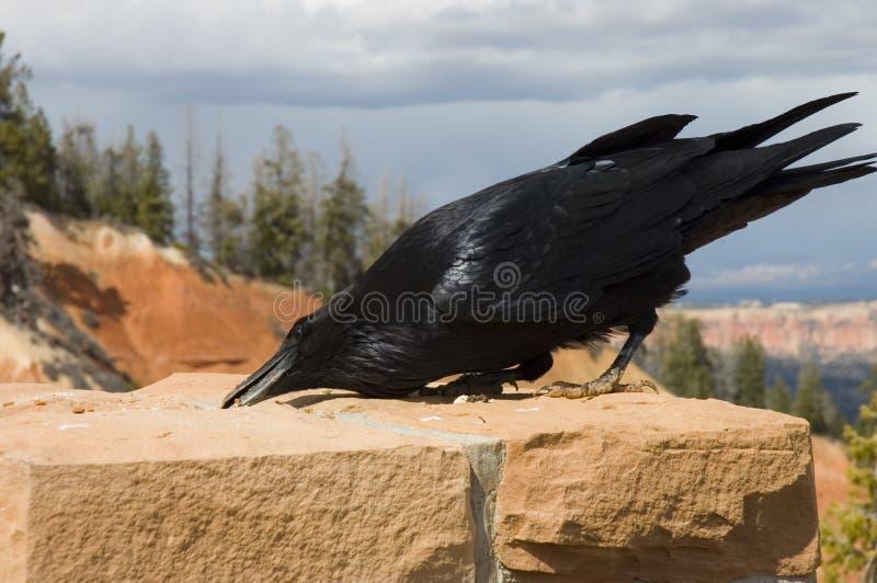 O corvo com fome fotografia de stock