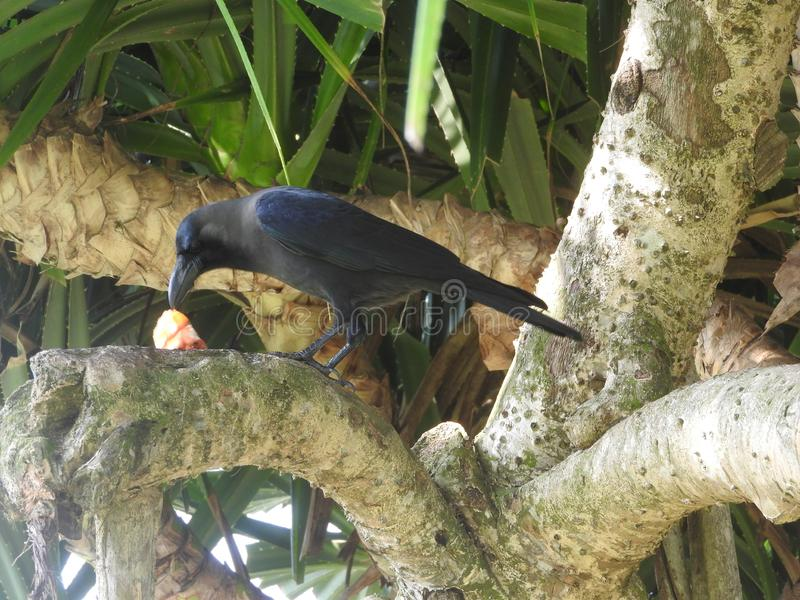 O corvo preto come prontamente a rapina na grama, um ramo, Sri Lanka imagem de stock royalty free