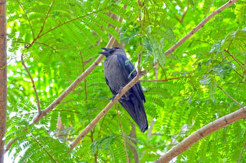 O corvo preto fotos de stock royalty free