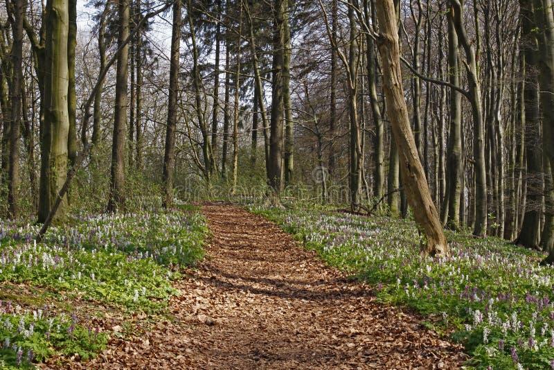 O Corydalis (fumewort) floresce em Baixa Saxónia imagem de stock royalty free