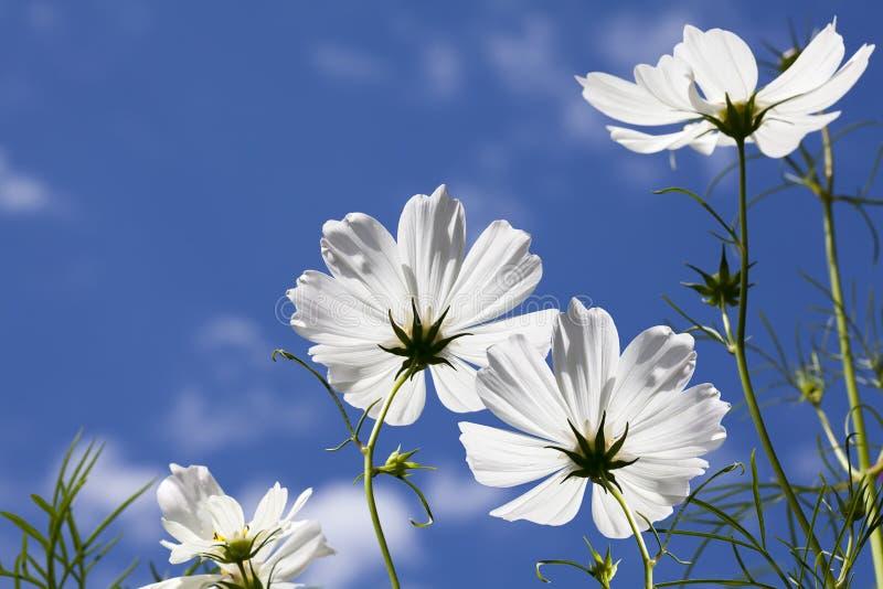 O cosmos branco floresce o céu azul fotografia de stock