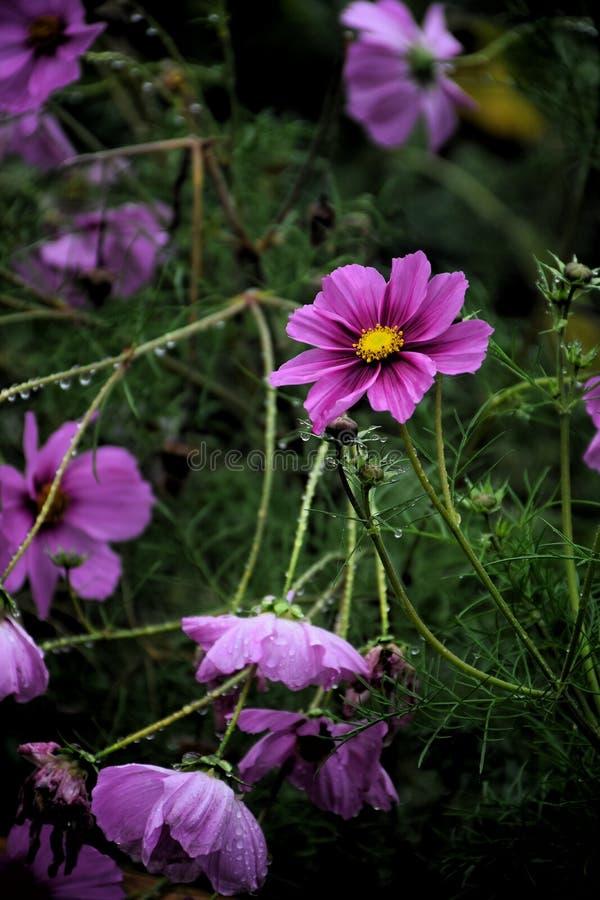 O cosmos cor-de-rosa floresce no jardim e no fundo preto imagem de stock