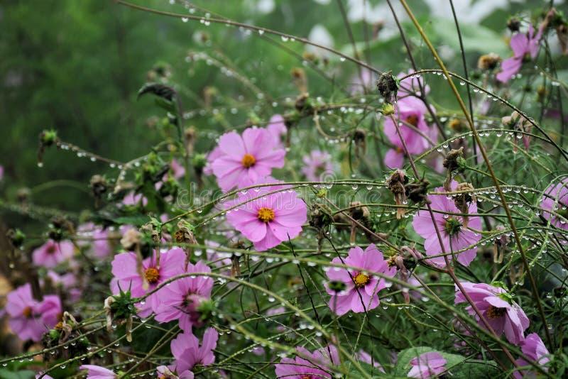 O cosmos cor-de-rosa floresce no jardim e no fundo preto imagem de stock royalty free