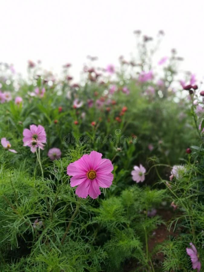 O cosmos cor-de-rosa floresce no jardim e no fundo preto fotografia de stock royalty free