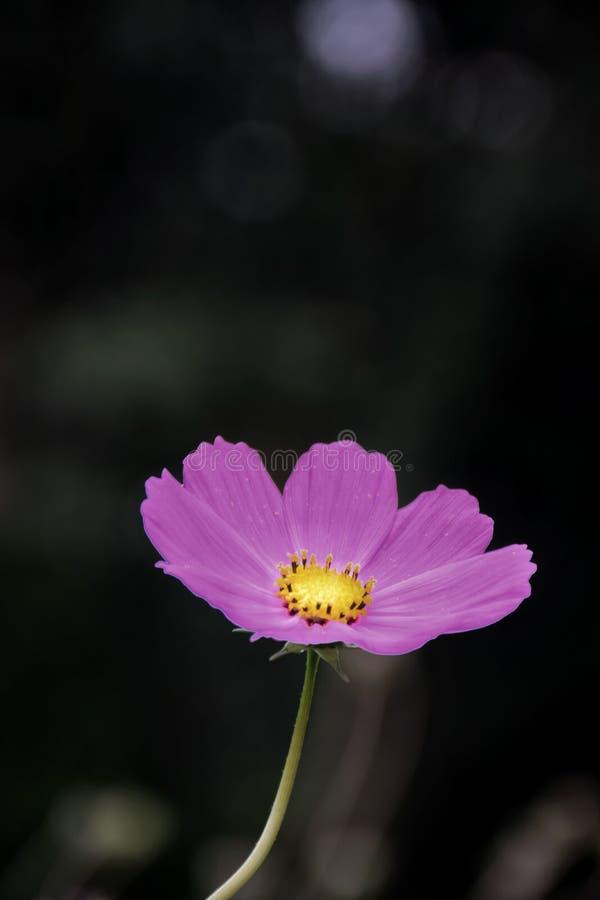 O cosmos cor-de-rosa floresce no jardim e no fundo preto imagens de stock royalty free