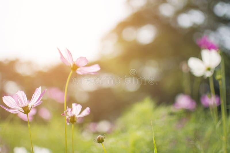O cosmos cor-de-rosa ou roxo bonito Bipinnatus do cosmos floresce no foco macio no parque com a flor borrada do cosmos com luz do fotografia de stock royalty free