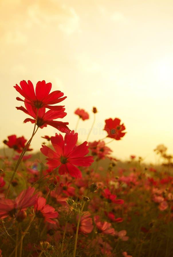 O cosmos floresce no por do sol, estilo do vintage fotos de stock