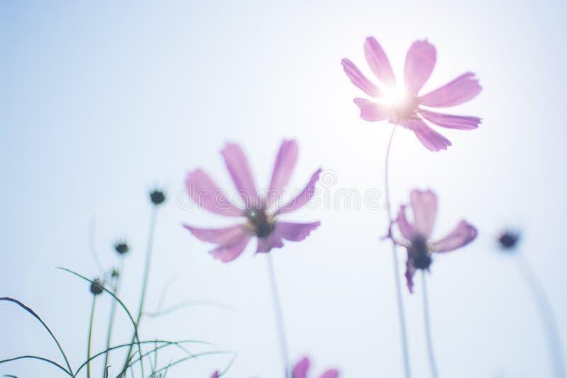 O cosmos roxo borrado Bipinnatus das flores do cosmos no jardim com luz do sol e len alargamentos imagem de stock royalty free