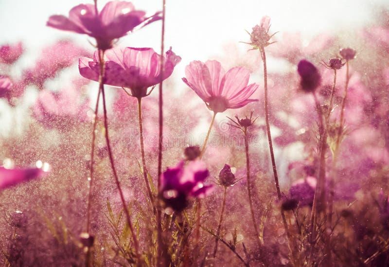 O cosmos roxo floresce com luz do sol - estilo do vintage fotografia de stock