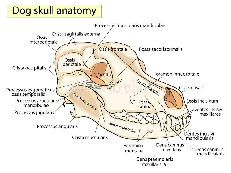 O crânio de um cão Estrutura dos ossos da cabeça, projeto anatômico No latim ilustração do vetor
