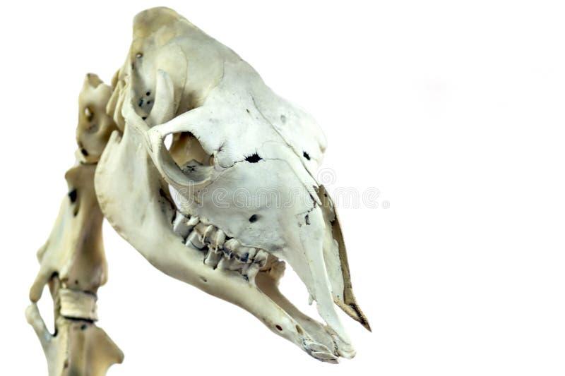 O crânio de um camelo é close-up Imagem isolada para um tema científico ou veterinário no fundo branco foto de stock