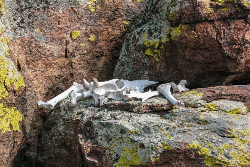 O crânio e os ossos brancos da vaca encontram-se em pedras cobertas musgo foto de stock royalty free
