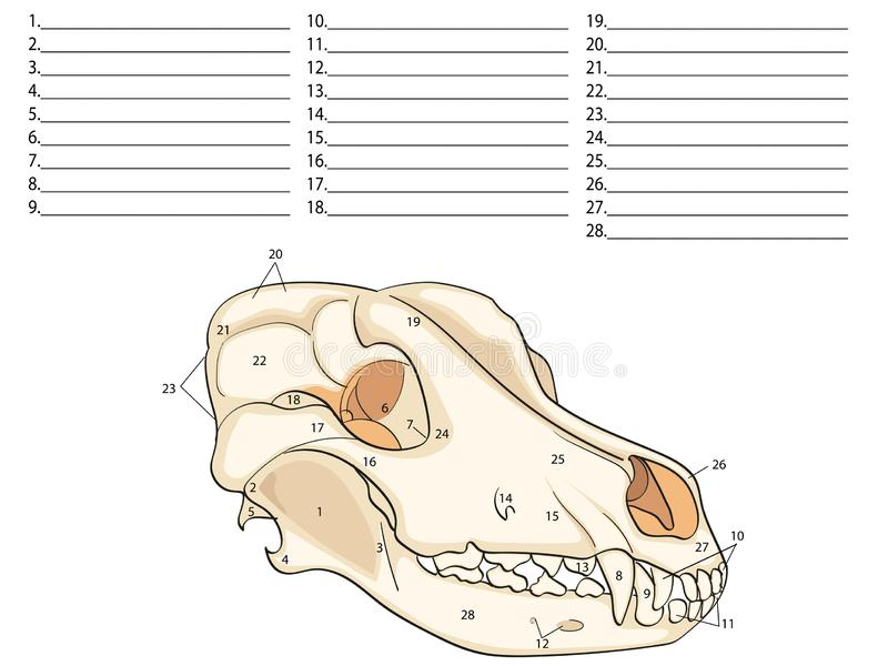 O cr?nio de um c?o Estrutura dos ossos da cabe?a, projeto anat?mico No latim ilustração stock
